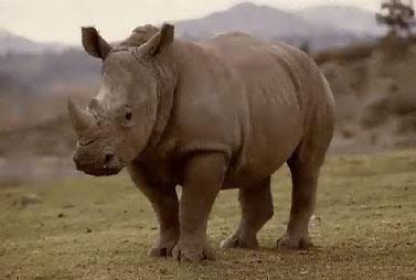 Compétition de musique - Page 4 Rhino
