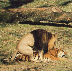 accouplement_lion_tigre.jpg