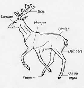 Anatomie du Cerf