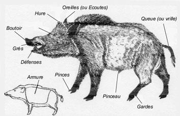 Anatomie du Sanglier