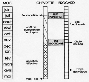 reproduction_chevreuil.jpg (32464 octets)