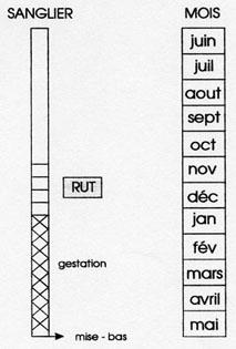 Calendrier de reproduction du Sanglier